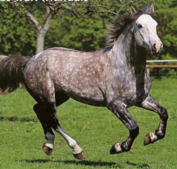 cheval de trait irlandais